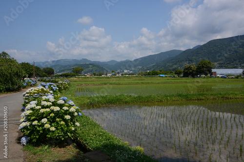 Photo Stands Beijing Hydrangea in full blooming rural area