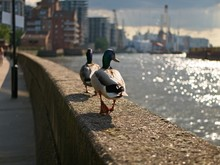 Two Ducks Walking On A Perch Of The RIver Thames At Dusk, London, UK