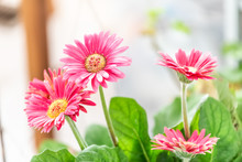 Macro Closeup Of Flower Pot With Pink Gerbera Daisies Potted Plant In Sunny Room Kitchen In Home, House Indoors Interior