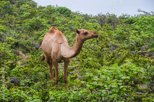 Deurstickers Kameel Camel in middle of green mountain