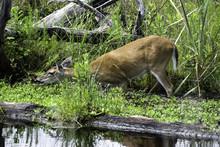 Great Dismal Swamp Deer