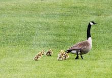 Mamma Goose And Goslings