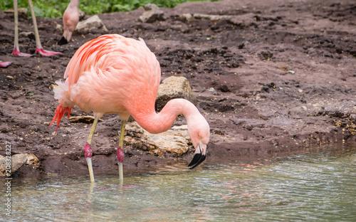 Foto op Aluminium Flamingo Chilean flamingos are enjoying summertime on water