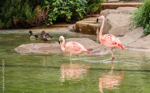 Staande foto Flamingo Chilean flamingos are enjoying summertime on water