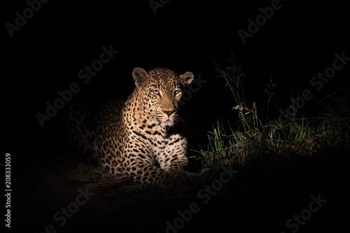 Spoed Foto op Canvas Luipaard Male leopard in the spotlight