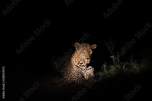 Spoed Foto op Canvas Luipaard Large leopard in the beam of a spotlight
