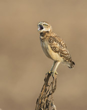 Burrowing Owl On A Perch While...
