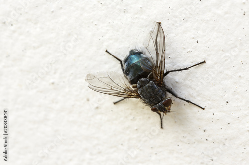 Fly on the wall. / Close up of insect sitting on white background