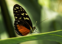 Butterfly Golden Helicon On A ...