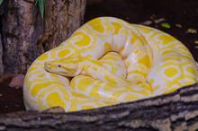 Albina Burmese Python.(python ...
