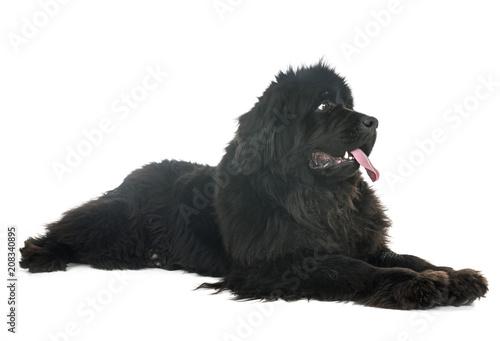 Fotografia newfoundland dog in studio