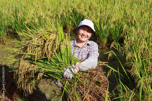 Poster  happy asian female farmer holding golden rice smile in the rice paddy