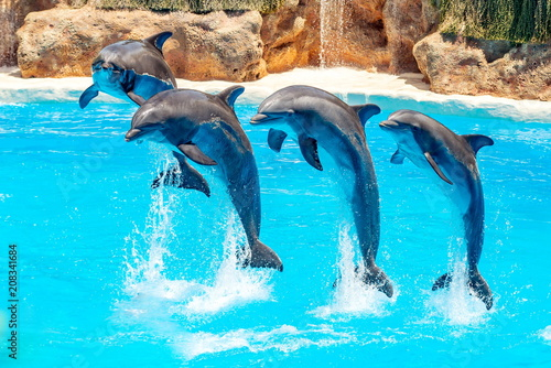 Beautiful dolphin swimming. Dolphin jumping above blue water in the Ocean