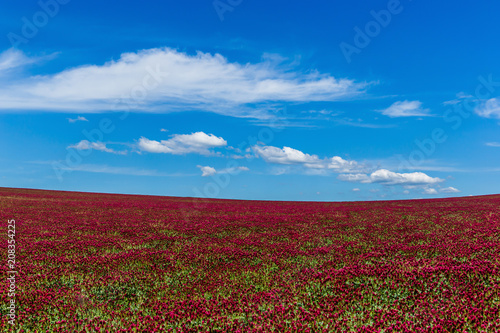 Poster Bordeaux Red clover field and blue sky in summer day.