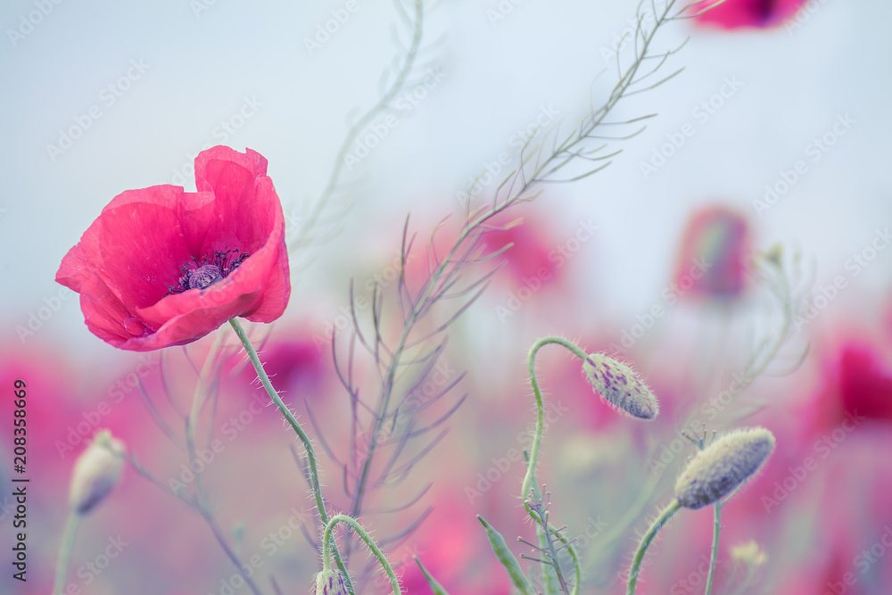 Delicate poppy flower and buds of poppies on the field close up. Artistic photo, soft colors, soft focus.