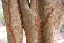 Termite Tracks On Tree Trunk, ...