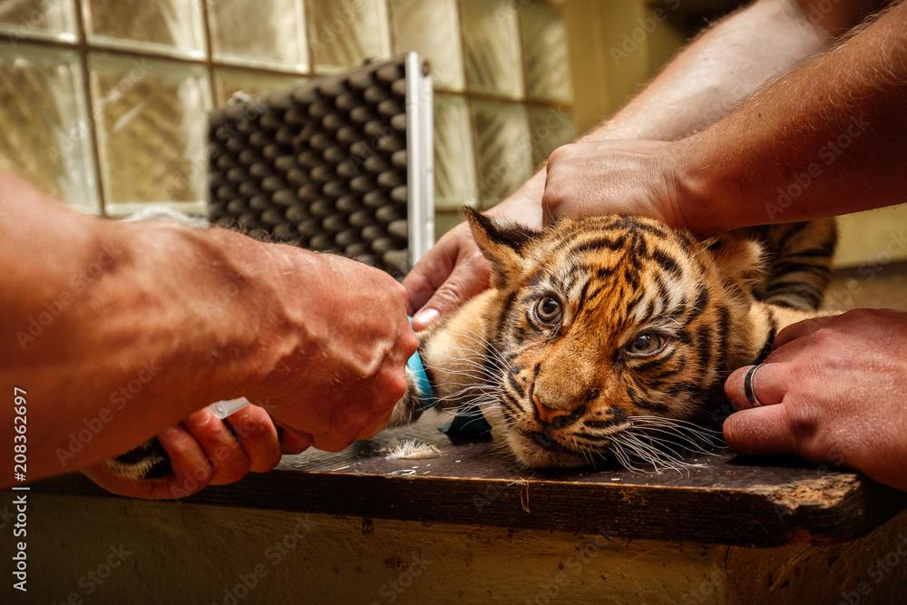 Cute tiger cubs during the vaccination. Sumatran tigers in the zoo. Wild scene with captive animal. Panthera tigris sumatrae.