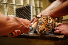 Cute Tiger Cubs During The Vac...
