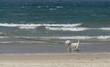 Little white dog walking on the beach