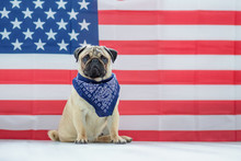 Beautiful Beige Puppy Pug On T...