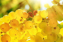 Closeup On A Bunch Of White Grapes On A Vineyard