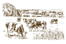 Cows Grazing On Meadow. Hand D...