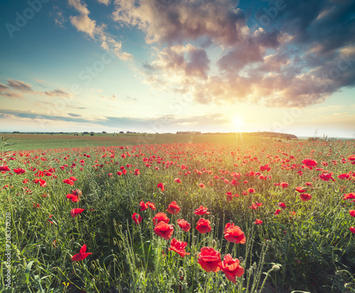 Stickers pour portes Orange eclat green and red beautiful poppy flower field background