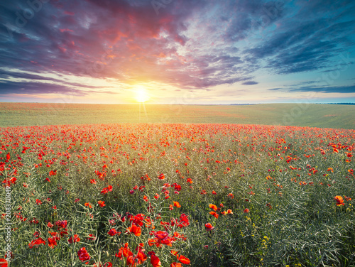 Fototapety, obrazy: green and red beautiful poppy flower field background