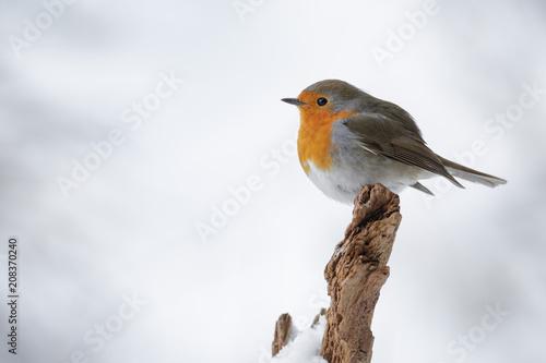 Photo A simple robin