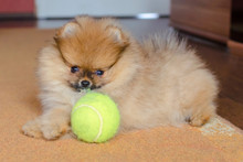 Cute Pomeranian Puppy, Small Dog With A Ball At Home