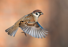 Tree Sparrow In High Speed Fli...