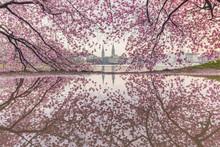 Blossoming Cherry Tree, Hambur...