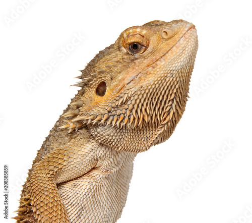 Lizard Bearded Dragon on white