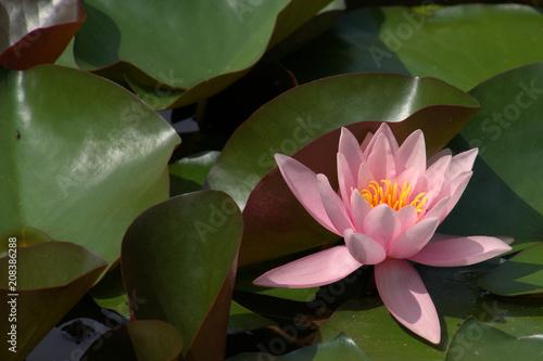In de dag Waterlelies rosa blühende Seerose