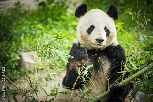 Fotografija  Panda Bear eating bamboo shoot
