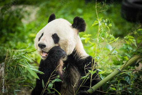 Zdjęcie XXL Panda Bear jedzenie bambusa strzelać