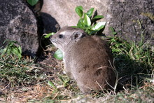 Hyrax From Behind