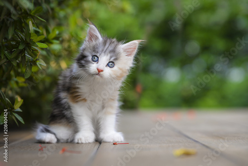 Foto A silver patched and white kitten chilling in green garden in daylight