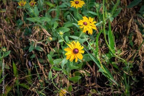 Fotografering  Blackeyed susans growing wild.