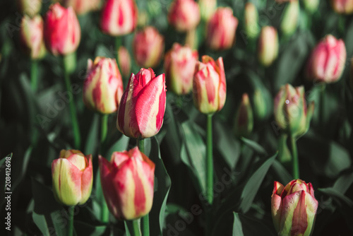 Red, Yellow, and White Tulips in Field, Amsterdam, Holland, The Netherlands Poster