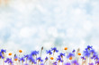 canvas print picture - Field cornflower blue flowers against the background of the summer landscape.