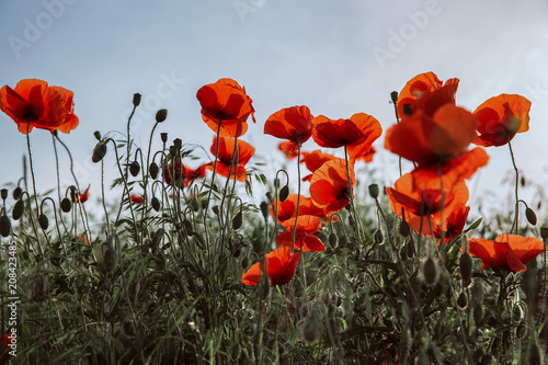 Foto op Canvas Klaprozen poppy field, morning sunrise