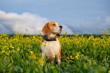 Beagle Dog On A Yellow Field O...