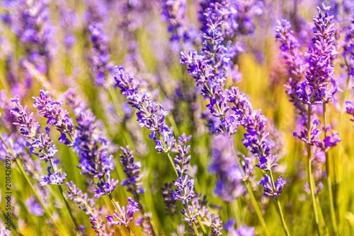 Tuinposter Lavendel Champ de lavande dans le sud de la France