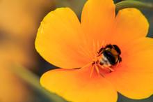 Yellow Eschscholzia On The Meadow And Bumblebee Closeup