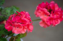 Bright Pelargonium Decorate Th...