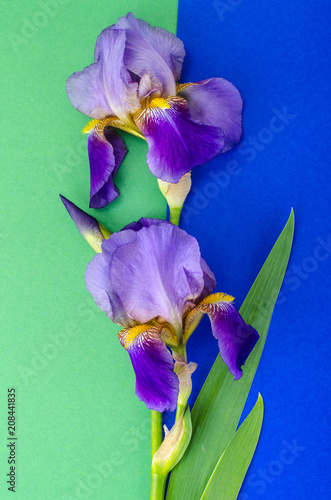 Spoed Foto op Canvas Iris Beautiful blue iris on bright colored background