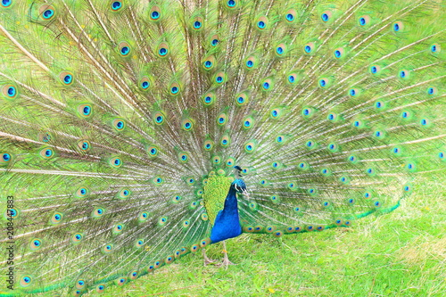 Foto op Plexiglas Pauw A beautiful peacock with an opening tail. Close-up. Background.