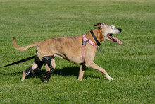 Happy Active Dog With Two Orthotic Braces From CCL Injuries Excited To Be Out Walking In Field Of Grass