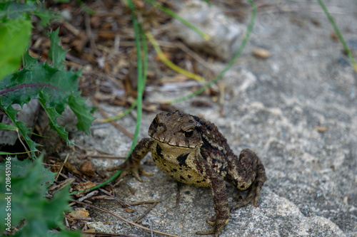 Greyish-brown skin covered with wart-like lumps toad move from the lair and walk on the concrete ground cover by small leaves,grass and scraps of wood Wallpaper Mural